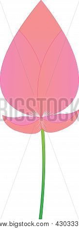 Pink Lotus Boom On A White Background.