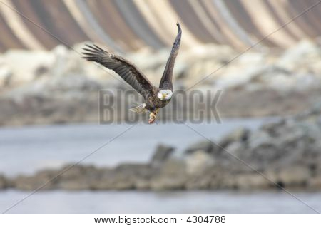 Bald Eagle With A Fish