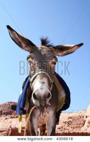 Funny Donkey In Rock City Petra / Jordan