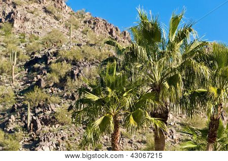 Arizona Palm Trees