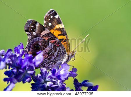 Mariposa dama estadounidense (Vanessa virginiensis)