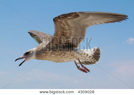 Young Seagull Calling As It Flies