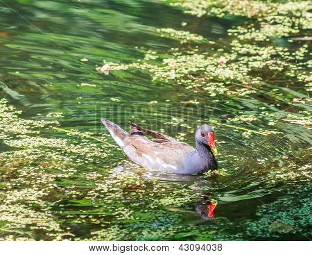 Coot (fulica) On A Lake
