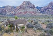 stock photo of burro  - A young wild burro with his mother in the Nevada desert - JPG