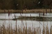 image of bulrushes  - Reeds Bulrush Reedrace  - JPG
