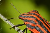 stock photo of minstrel  - Macro Photo Of A Graphosoma Lineatum Insect - JPG