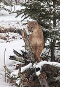 stock photo of cougar  - Cougar, Mountain Lion, Puma stands perched on a fallen tree limb.  Winter season