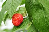 stock photo of hydroponics  - Detail of growing raspberrys in hydroponic plantation - JPG