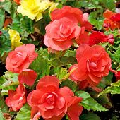 picture of begonias  - bright background of beautiful red flowers begonias - JPG