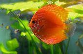 foto of diskus  - One red discus fish in the aquarium