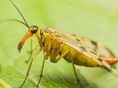 stock photo of genital  - Macro Photo Of A Scorpion Fly - JPG