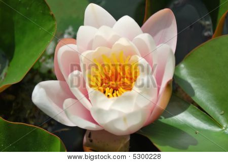 Beautiful Nenufar Plant/flower