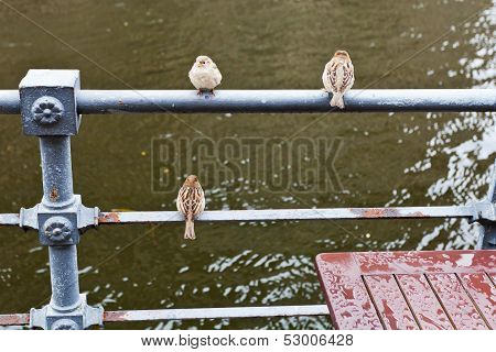 Sparrows On Waterfront Fence In Rainy Day