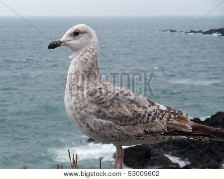 Gull Near Saint-malo