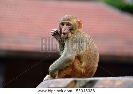 Monkey, Rhesus macaque (Macaca mulatta) at Swayambhunath monkey temple. Kathmandu, Nepal