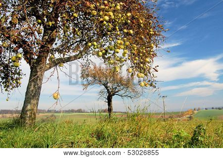 Wild apple trees in a rural landscape
