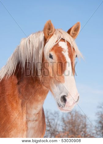 Handsome Belgian draft horse with snow on his muzzle, against clear blue sky