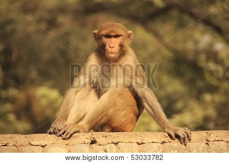 Rhesus Macaque Sitting On A Fence In The Street, New Delhi