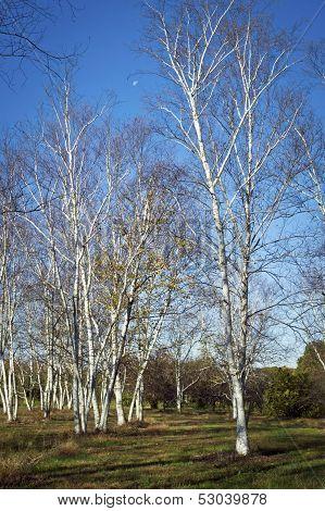 White Birch Field