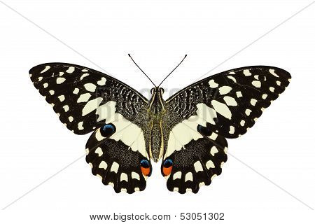 Top View Of Lime Butterfly In White Background