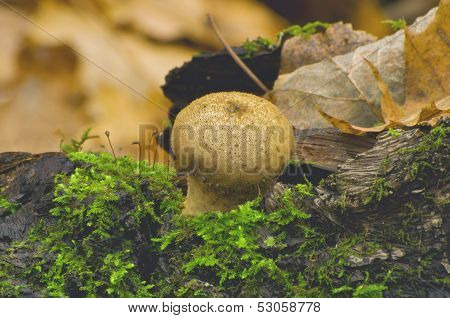 Puffball mushroom ( Lycoperdon pyriforme)