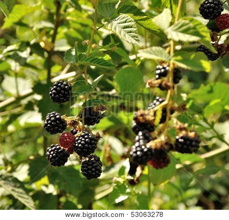 Branch Of Blackberry