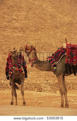 Camels Standing By Pyramid Of Khafre, Cairo
