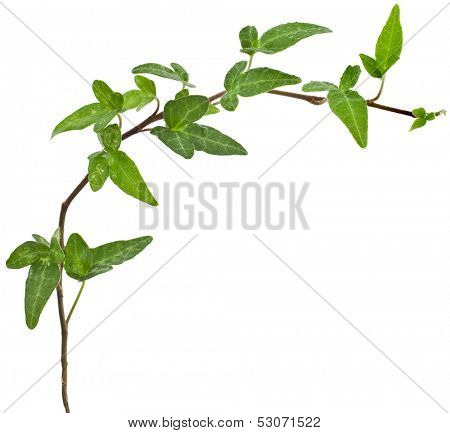 Green ivy border plant close up isolated on white background