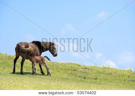 Horse lactating