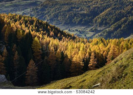 Cuneaz, Yellow Larches In Autumn (north Italy)