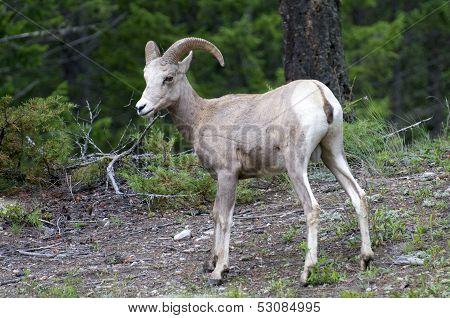 Bighorn Sheep In The Wild