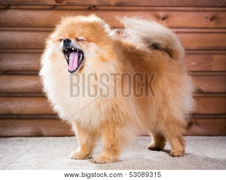 Portrait Pomeranian Dog With Open Mouth