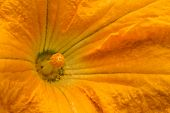 stock photo of marrow  - Vegetable marrow a flower close up photo