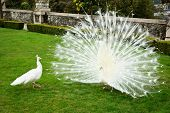 stock photo of mating animal  - White peacocks flirting in  a green park - JPG