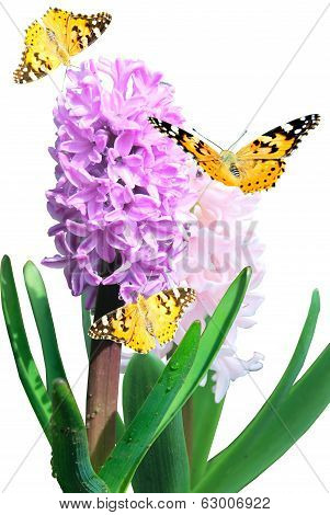 Violet Hyacinth With Butterfly