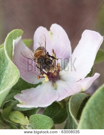 A Bee Peers Out From A Quince Blossom