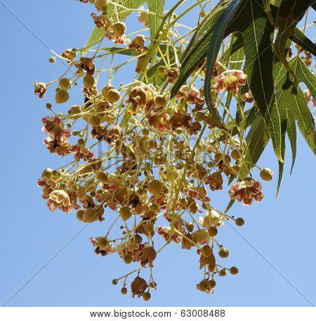 Brachychiton populneus blossom