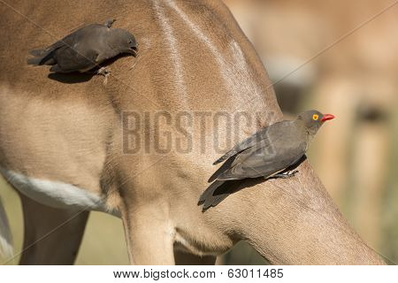 Red Billed Oxpecker (buphagus Erythrorhynchus) On Impala
