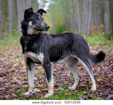 Mixed breed dog in the autumn forest