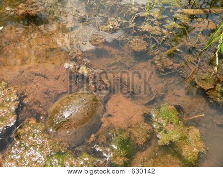 Mud Turtle At Home