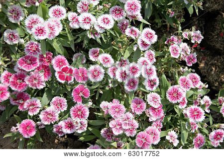 Pink Dianthus Chinensis Flower.