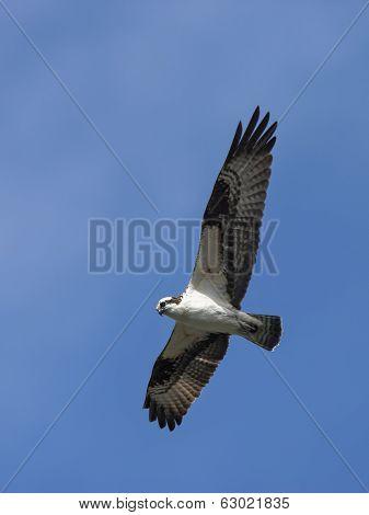 Osprey In The Sky.