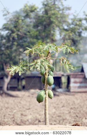 Papaya Trees In The Plantation.