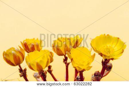 Adonis Flowers
