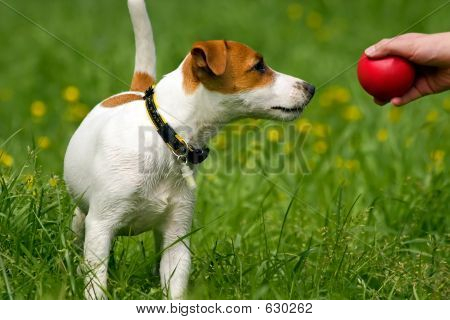 Jack Russell Terrier Pet