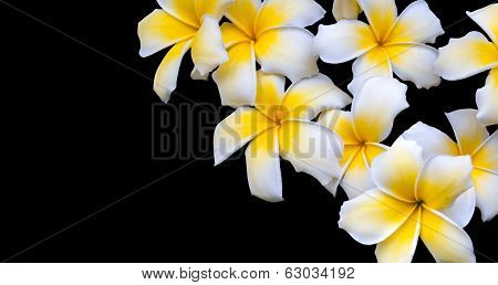 Frangipani isolated on black