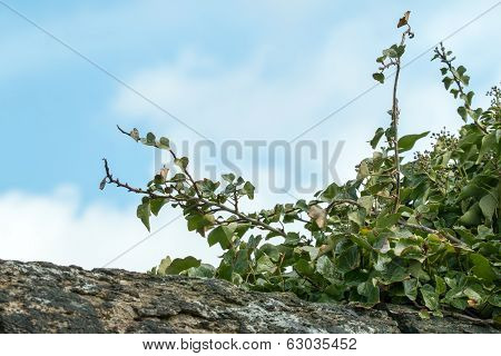 Ivy On Wall