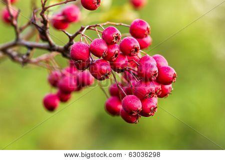Mature  Hawthorn Berries
