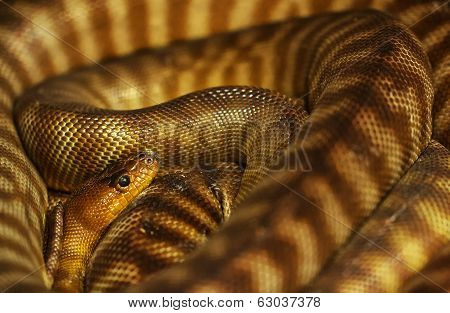 Pygmy Banded Python