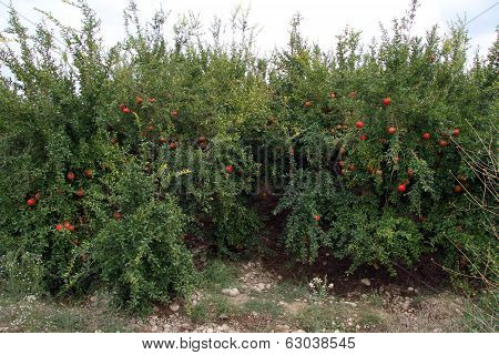 Pomegranade Trees